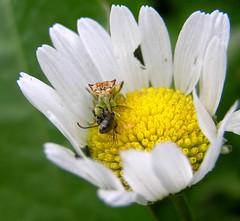 Sipping (mudder_bbc) Tags: daisies insects bugs prey predators predation jaggedambushbug ambushbugs