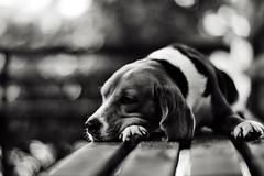 .bad daY (27147) Tags: wood dog beagle zeiss canon garden bench t alone village bokeh f14 85mm wait lonely ze planar 27147 casalunar