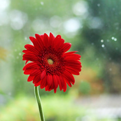 (tad2106 - Trudie Davidson Photography) Tags: red plant flower nature bright bokeh gerbera