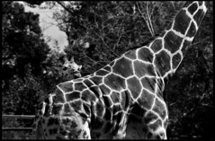 giraffe4 (A Touch of Light) Tags: blackandwhite black calgary art history film animal analog zoo blackwhite nikon artist artistic iso400 photojournalism documentary caged alberta giraffe f3 ilford reportage decisivemoment kiron id11 legacypro