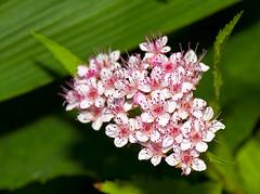 _DSC2419.jpg (aeschylus18917) Tags: pink flowers flower macro nature japan nikon g micro  nikkor  f28 vr pxt 105mm 105mmf28 105mmf28gvrmicro d700 nikkor105mmf28gvrmicro  danielruyle aeschylus18917 danruyle druyle