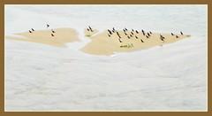 Birds at the Kal Anai (Indianature sp) Tags: india heritage water birds river dam culture cormorant society tamil barrage kaveri tamilnadu chola dravidian cauvery kallanai karikalan anaicut chozha indianature cauverydelta kalanai snonymous grandanaicut karikalanchola ancienttamilnadu