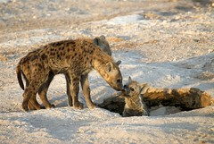 Hyena Kiss (Dave Schreier) Tags: africa baby dave tanzania kiss kissing kenya den safari spotted hyena amboseli schreier specanimal wwwdlsimagescom