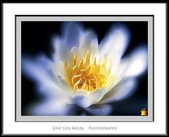 Atraccin (Jose Luis Mieza Photography) Tags: flowers flores flower fleur fleurs flor benquerencia florews reinante jlmieza reinanteelpintordefuego joseluismieza