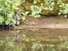 Weasel Hunting Water Voles (Derbyshire Harrier) Tags: clear weasel limestone bakewell riverwye