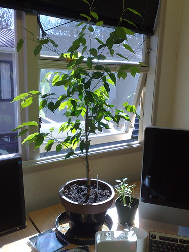 Mini Capsicums next to mini tree
