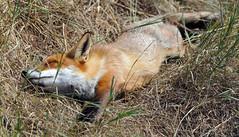 Red Fox Sunbathing (Tony Margiocchi (Snapperz)) Tags: animal wildlife fox british bwc sunbathing britishwildlife d3 redfox 400mmf28dii britishwildlifecentre nikond3 nikkor400mmf28dii