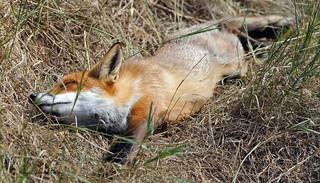 Red Fox Sunbathing