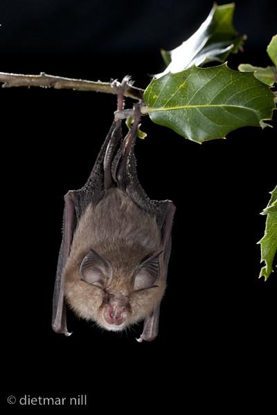 _M2N7250Blasius-Hufeisennase haengend(Rhinolophus blasii), Blasius's Horseshoe Bat hanging