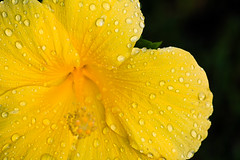 Yellow Hibiscus (Khanon) Tags: flower nature wet water rain yellow canon droplets petals hibiscus dew 550d t2i kissx4