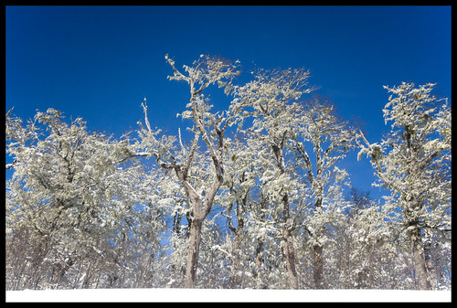 winter trees in the Andes