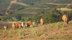 DSC08089 (Cyberian8) Tags: portugal animal algarve animaux diere  tier  djur  hayvan desanimaux  hewan haiwan  ivotinja