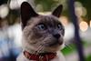 Bokeh Cat ( for Caturday ) (-william) Tags: delete10 cat delete9 delete5 delete2 bokeh delete6 delete7 save3 siamese delete8 delete3 delete delete4 save save2 save4 save5 d700 deletedbydeletemeuncensored