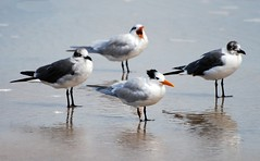 Birds - Royal Terns and Laughing Gulls (blmiers2) Tags: bird nature beautiful birds geotagged nikon florida wildlife gull gulls faves daytonabeach daytona picnik avian larusatricilla laughinggull laridae charadriiformes laughinggulls birdphoto nikond40x d40x avianwildlife daytonabeachbirds blm18 blmiers2