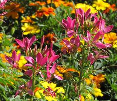 A Splash of Color (Colorado Sands) Tags: flowers usa flores nature floral fleur america fleurs us colorado unitedstates blossoms blossoming fiori blommor bloemen littleton cleome hudsongardens spiderplants sandraleidholdt leidholdt