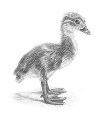 Mandarin Duckling (tiberiopencilart) Tags: blackandwhite pets cute art nature birds babies drawing duckling ducks fluffy reproduction pencilandpaper realistic animalsketch highlydetailed mandarinduckling archivalinks