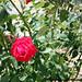 Rosa madonita - Rose