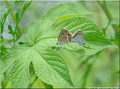 DSC_6590-28-07-2010 (r.zap) Tags: fiori zap polyommatusicarus farfalle parcodelticino rzap robertozappaterra