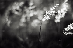 .as tears subsidE (27147) Tags: flower beach field grass zeiss canon t thailand village wind bokeh f14 85mm blow shore thai ze planar 27147 casalunar