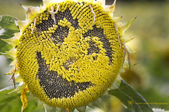 Smile - it's the key that fits the lock to everybodies heart :-) (k4wea) Tags: smile face gardens pad august surrey potd seeds photoaday sunflower maze 365 dailyphoto wisley 2010 round2 rhs shallowdof take2 24365 august2010 365communityproject365