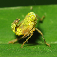 More Silly Nymph Shots (zxgirl) Tags: silly cute alexandria yellow bug insect virginia flash insects bugs va immature nymph hopper arthropods arthropoda leafhopper leafhoppers nymphs s5 huntleymeadows arthropod hoppers hemipteran insecta dcr250 raynox hemiptera cicadellidae auchenorrhyncha coelidia hemipterans coelidiaolitoria cicadoidea img7194 coelidiinae