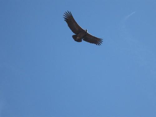 2010-4-peru-229-cabanaconde-cruz del condor