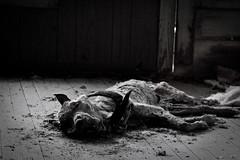 Oh my Dog (Waylon_) Tags: blackandwhite bw dog white black dead scary gray monotone creepy spooky grayscale horrible aaa deaddog horrifying