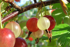 Precious Baubles (WanderWorks) Tags: red food white canada green leaves fruit newfoundland berry labrador berries natural organic gooseberry unripe ripe gooseberries img2596c1gn