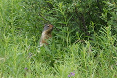 Columbia Ground Squirrel