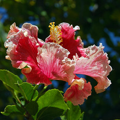 Dancing (Lise_Flowers) Tags: flowers flower nature hibiscus