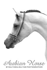 Arabian Horse (Sultan alSultan ) Tags: original horse white beautiful by canon d50 was eyes photographer arabic saudi arabia sultan arabian 50 riyadh  filmed               alsultan