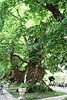 aa 030 Two old Sweet Chestnut Trees.(Castanea Sativa} Herstmonceux 22q 7 10