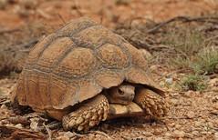 10b. Desert tortoise beside the road