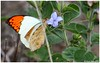 Great Orange Tip  {Hebomoia glaucippe} (Naseer Ommer) Tags: india canon butterfly kerala chinnar greatorangetip hebomoiaglaucippe naseerommer canon300mm chinnarwildlifesanctuary canoneos7d discoverplanetinternational dryscrubjungle