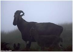 Daddy n Me (Naseer Ommer) Tags: india misty canon kerala saddleback mountaingoat munnar nilgiris canon28135mm tahr rajamalai nilgiritahr eravikulamnationalpark varayadu naseerommer canoneos5dmarkii