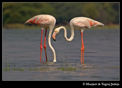 Greater Flamingos (Phoenicopterus roseus) feeding
