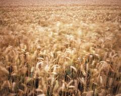 Wheatfield (Brendan Gara) Tags: landscape kodak portra mamiya7 400nc