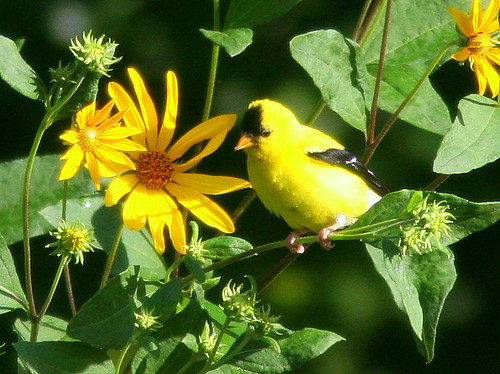 American Goldfinch male 2-20100826