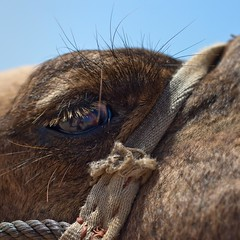 Something About A Camel's Eye And A Needle... (bgrimmni) Tags: morocco camels spaintrip