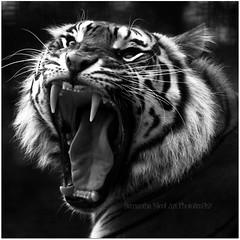 Big Cat Big Teeth In Mono (Samantha Nicol Art Photography) Tags: white black animal cat square fur mono big scary nikon teeth tiger yawn samantha nicol