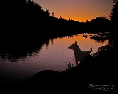 Betty at Sunset (Gary Randall) Tags: sunset dog oregon betty australiancattledog acd sandyriver garyrandall dsc40162