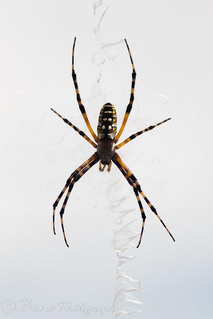 Banana Spider 3780