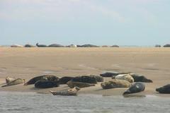 Texel - a visit to the seals (Moose (Bailey and Muppet)) Tags: wadden seals robben texel sandbank waddeneilanden zandbank zeehonden