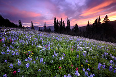Mount Rainier wildflowers (Dene' Miles) Tags: pictures life camera travel flowers trees light sunset summer sky plants usa sun mountains tree nature colors sunshine clouds composition contrast forest landscape outdoors photography volcano photo nationalpark amazing nikon scenery colorful flickr paradise shadows unitedstates artistic photos hiking tripod scenic picture meadow dramatic sunny wideangle hike explore photographs filter photograph mountrainier pacificnorthwest northamerica destination wildflowers washingtonstate polarizer popular majestic mtrainier westcoast frontpage pnw touristattraction 2010 cascademountains mtrainiernationalpark cascademountainrange d90 beautfiul tatooshmountains tatooshmountainrange denemiles