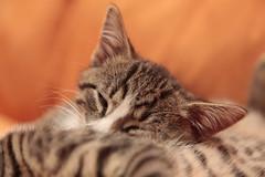 _MG_0704 (boneless79) Tags: max robert cat canon eos katze moritz katzen kater weber lensview 5dmk2 lensviewde