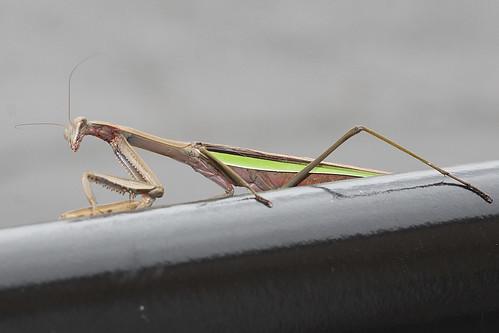 Chinese Mantis (Tenodera aridifolia)