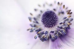 I got misty eyes... (jewelflyt) Tags: white flower macro bulb lyrics purple bokeh anemone stamen processed fireflies owlcity hpps perfectpurplesaturday