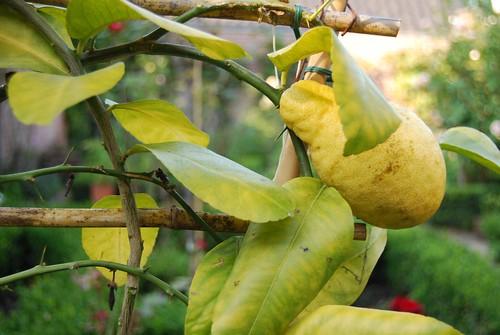 citroen uit eigen tuin...