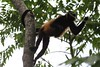 """Monkey hanging by its tail • <a style=""""font-size:0.8em;"""" href=""""https://www.flickr.com/photos/46837553@N03/4964297561/"""" target=""""_blank"""">View on Flickr</a>"""