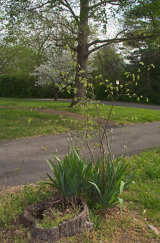 Crabapple Stump, with Iris